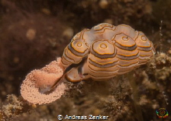 Doto greenamyeri laying eggs by Andreas Zenker